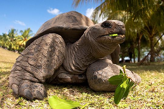 Tartaruga gigante a Curieuse Island